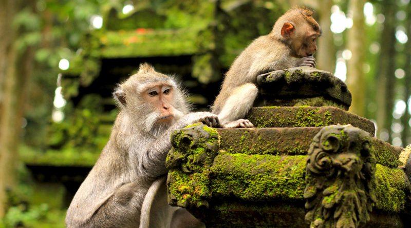 Kết quả hình ảnh cho khỉ ở bali